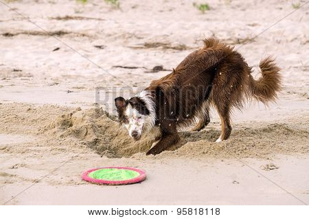 Young Border Collie Playing