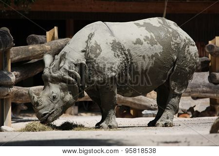 Indian rhinoceros (Rhinoceros unicornis). Wild life animal.
