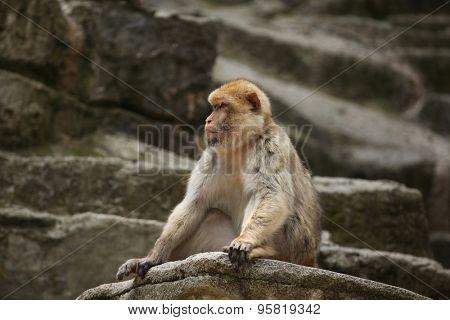 Barbary macaque (Macaca sylvanus), also known as the maggot. Wild life animal.