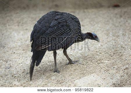 Vulturine guineafowl (Acryllium vulturinum). Wild life animal.