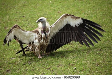 Himalayan vulture (Gyps himalayensis), also known as the Himalayan griffon. Wildlife animal.