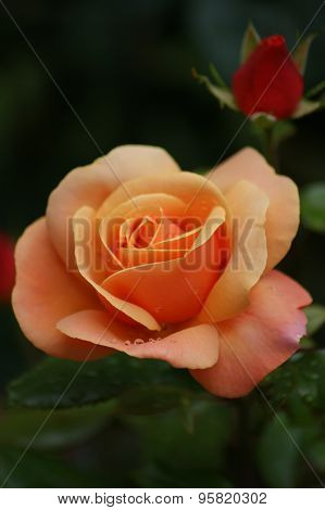 Orange Rose With Bud