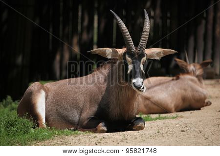 Roan antelope (Hippotragus equinus). Wildlife animal.