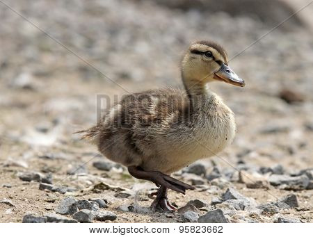 Little Duckling Walking