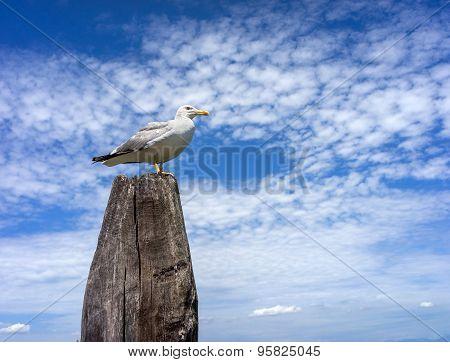 Seagull On The Wooden Pillar