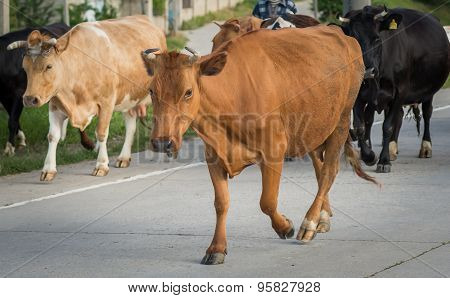 cow crossing the road stares us