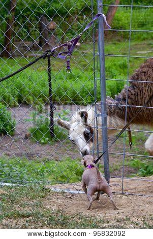 Chihuahua Encounters a Llama
