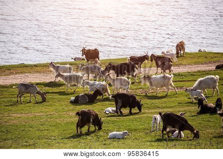 Goats on a green meadow.