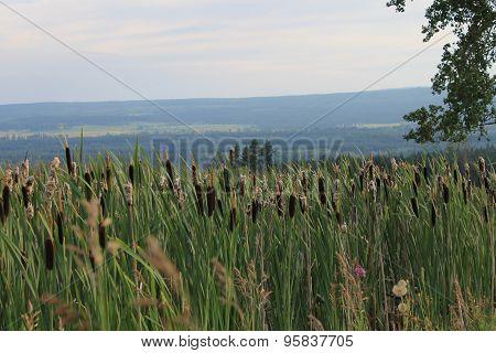 Bulrushes at the farmland