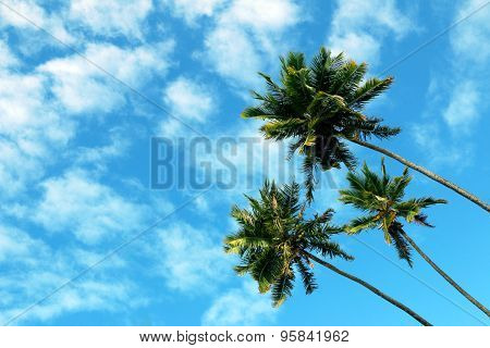 Three high palms, blue sky and white clouds