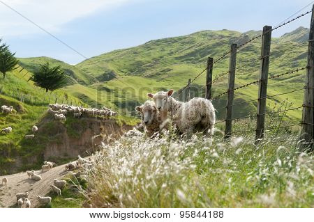 Sheep Farming, New Zealand.