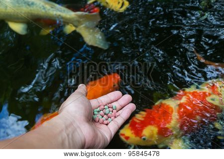 Feeding Koi By Hand