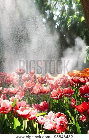 Water drops , red tulips in the spring garden