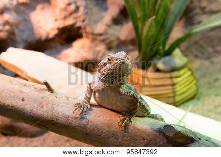 Bearded Dragon Attentive