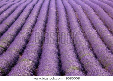 Provence Lavender Rows