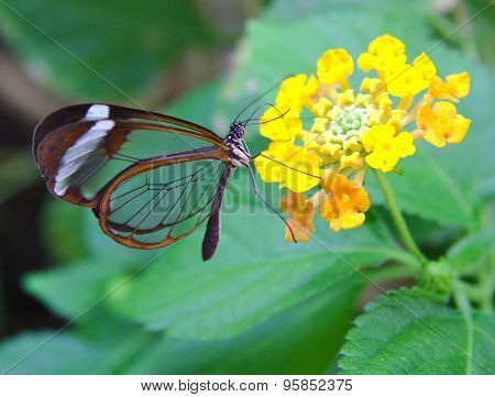 Greta Oto butterfly with transparent wings feeds on flower