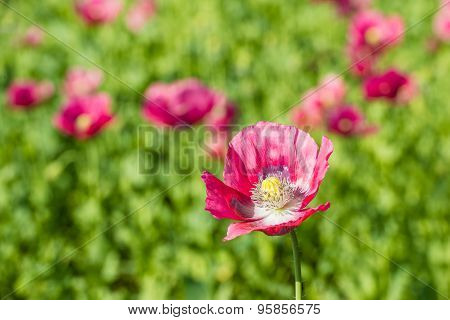 Large And Colorful Poppy Flower From Close