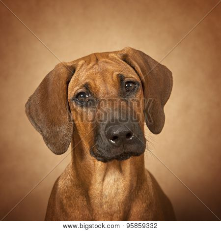 Portrait Of Rhodesian Ridgeback Dog