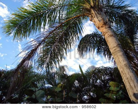 Pc Palms  Clouds Iii