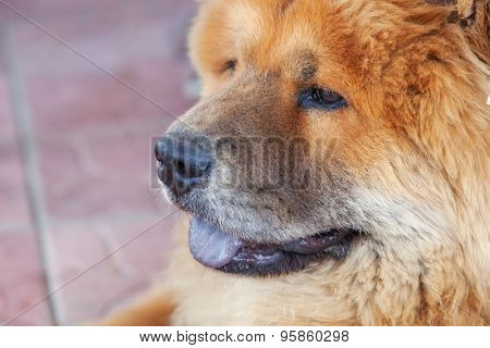 beautiful red dog chow, close-up