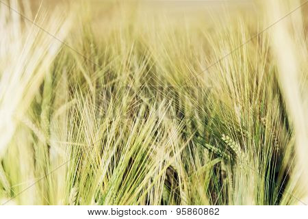 Detail Photo Of Yellow Wheat Field
