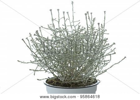 Calocephalus brownii plant in a pot