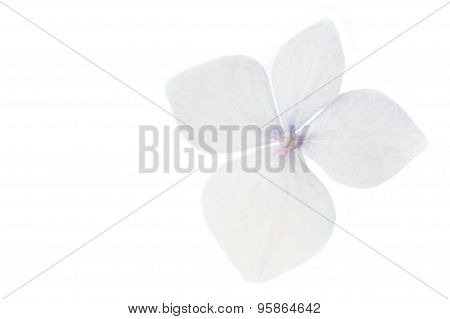 Hydrangea flower closeup on white background