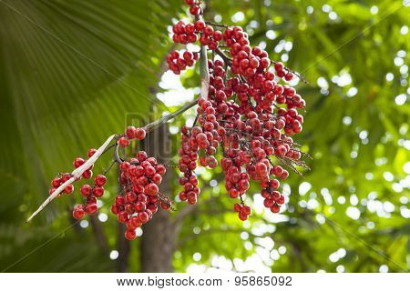 Plam Oil Fruit in garden