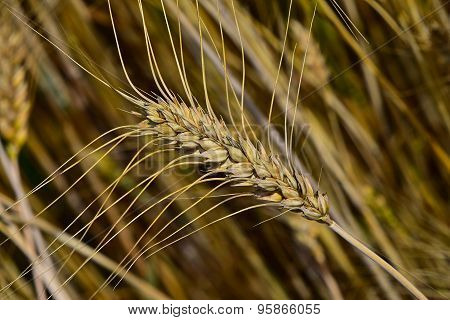 Ripe Mature Wheat Ear Head In Field Close Up