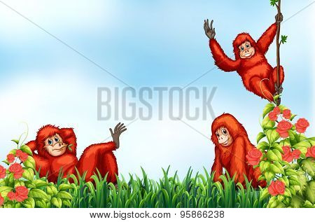 Three red cimpanzee relaxing the the natural habitat