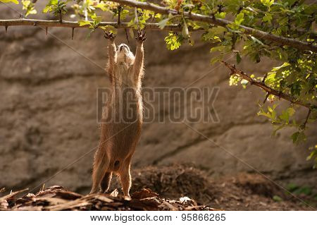 Prairie Dog Gopher Trying To Reach Branch