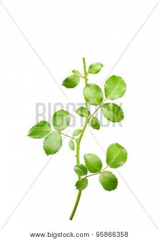 Rose twig with leaves isolated on white background