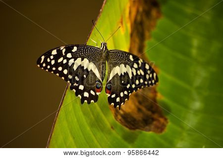 Eastern Black Swallowtail Butterfly Seating