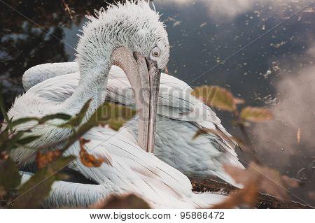 The Great Dalmatian Pelican Seating