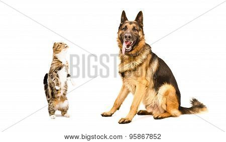 German Shepherd and cat Scottish fold