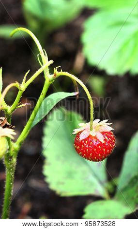wild strawberry berry lonely hang on the bush