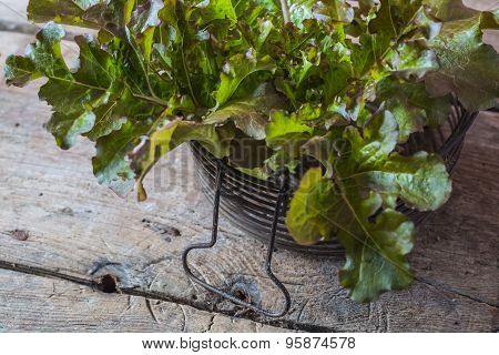 Fresh Green Organic Lettuce