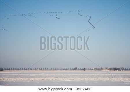 Gaggle Geese Flying Above Snowy Farmland Of The Netherlands