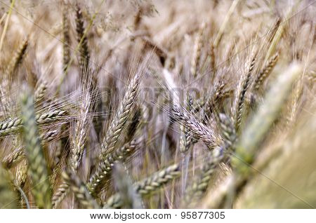 Wheat spikelet
