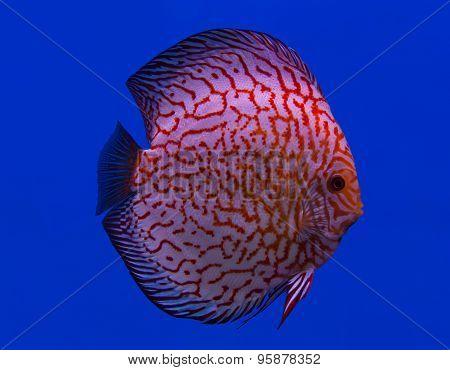 Fish In The Aquarium Glass.