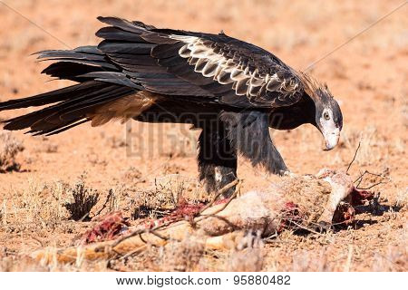 Australian Wedge-tail Eagle Eating a Kangaroo