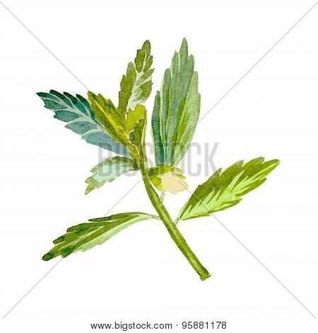 Stevia, sweetleaf sugar substitute. Watercolor vector.
