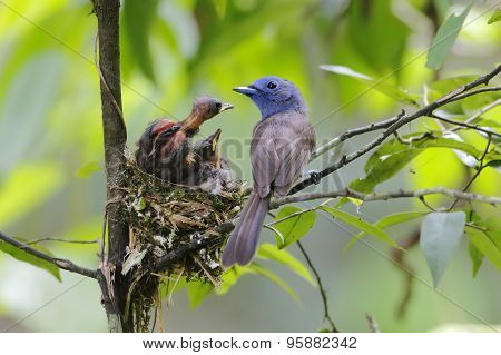 Black-naped Monarch Hypothymis Azurea Nest Baby Feeding
