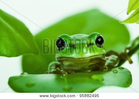 Green tree frog peeking out from behind the leaves, isolated on white