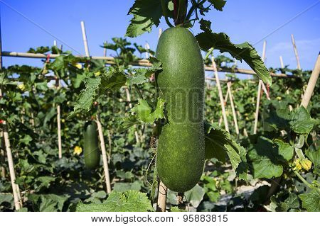 Wax gourd vegetable garden