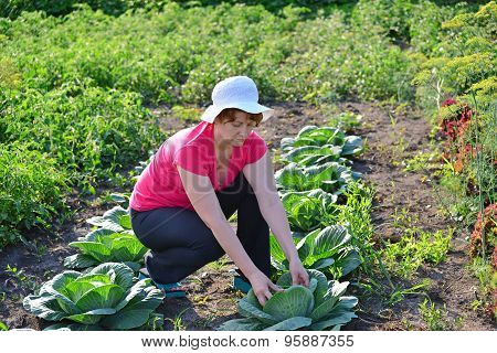 Woman Takes Care Of Cabbage In The Garden
