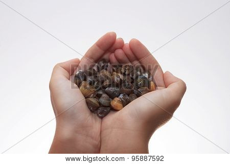 A Handful Of Mussels On White Background