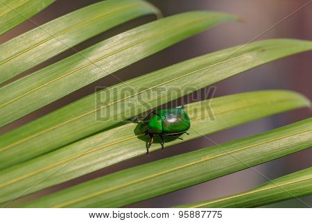 Natural Lighting Photo Of Cetonia Beetle On Green Palm Leaf With Shallow Dof