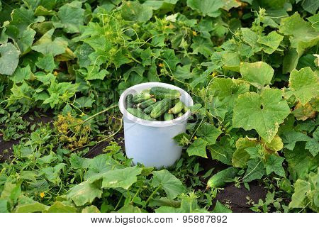 Bucket with fresh cucumbers in the garden