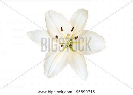 Lily isolated on a white background.